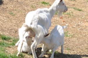 Közfoglalkoztatás - kecskék